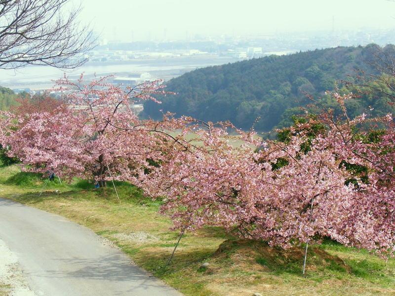 は の の 河津 見つかっ た が 原木 桜 苗